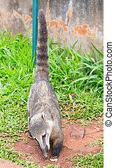Coati (Nasua nasua)