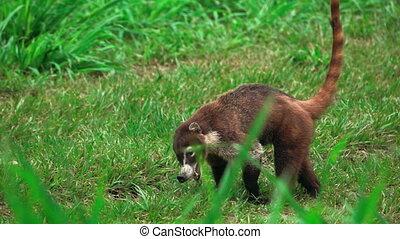 Coati opens mouth in super slow motion - Long shot of coati...