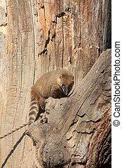 coati, ring-tailed, (nasua, nasua)