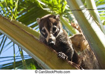 Coati Sitting in a Palm Tree