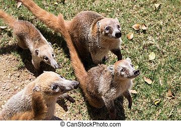 coatis, かわいい, narica, グループ, 面白い, メキシコ\, 施しを請う, nasua, cancun., 食物, 見る, ゆっくり進られる, カメラ, 戦い, expression., 肖像画, 白