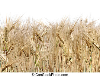 cob ripe barley in a field on white background
