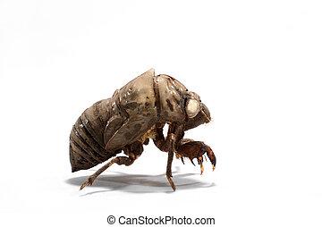 cobertizo, exoskeleton, macro, larval, blanco, cicado