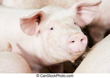 cobertizo, joven, cerdo