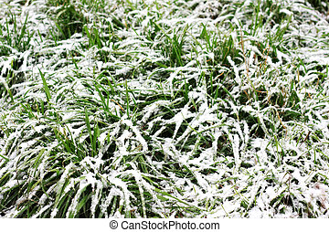 coberto, capim, verde, neve, longo