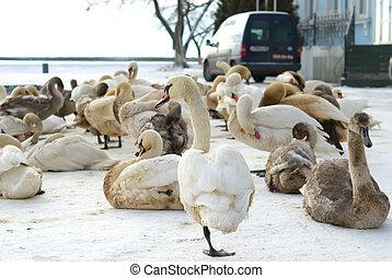 coberto, cisnes, óleo