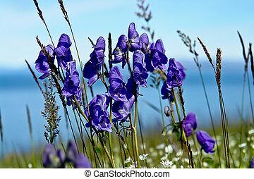 coberto, flores, aconite, tundra.
