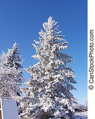 coberto, neve, pinho