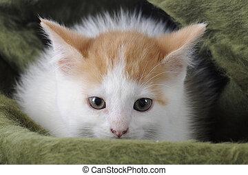 cobertor, gatinho