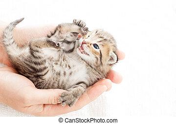 cobertor, mãos, human, gatinho, branca, encantador