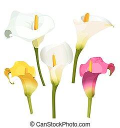cobrança, de, colorido, lírios arum, ligado, white., zantedeschia, lírio calla