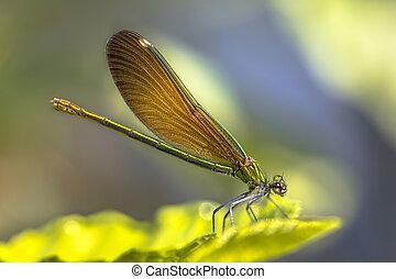 cobre, demoiselle, hembra, libélula