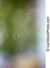 Cobweb Spider - The photograph of a young Cobweb Spider,...
