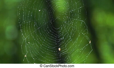 Cobwebs in the forest with dew drops. - Cobwebs in the...