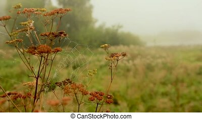 cobwebs with dew drops on the dry stems of the cow weed