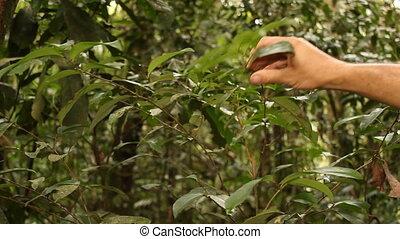 Coca bush (Erythroxylum sp.) - Growing wild in the...