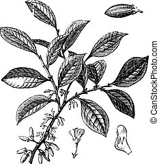 Cocaine or Coca or Erythroxylum coca, vintage engraving. Old engraved illustration of a Cocaine plant showing flowers.