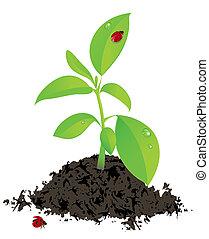 coccinella, pianta, verde, giovane