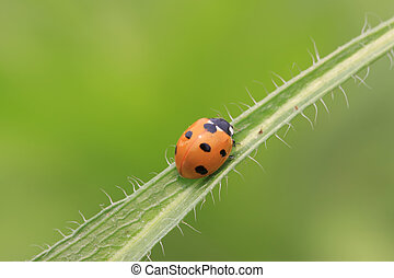 coccinella septempunctata - a ladybug on a green leaf, taken...