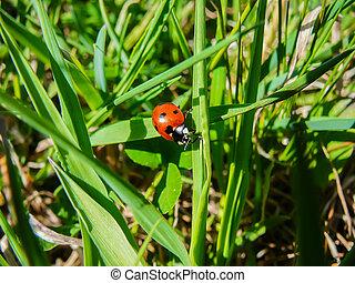 coccinella, su, erba, foglia