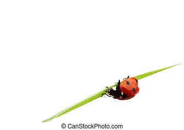coccinella, su, erba