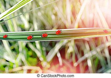 coccinella, su, grass.
