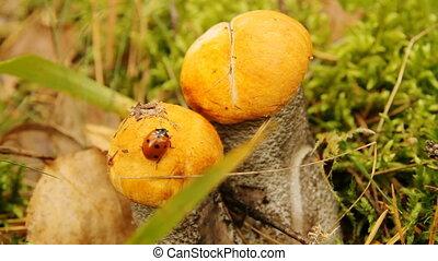 coccinelle, champignon