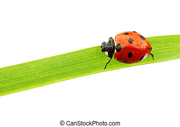 coccinelle, herbe
