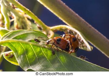 (coccinellidae, insectos, Mariquita, par, septempunctata),...