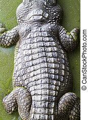 coccodrillo, pelle