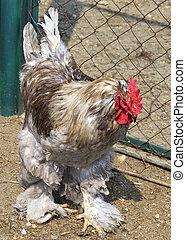 cochin, (chicken)