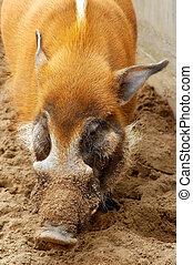 cochon, creuser