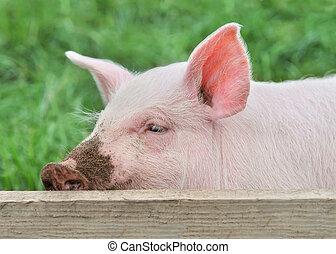 cochon, petit