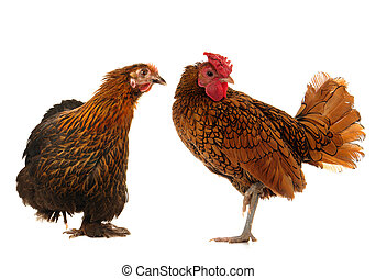 black hen - cock and black hen on a white background