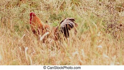 Cock and hens hiding in grass