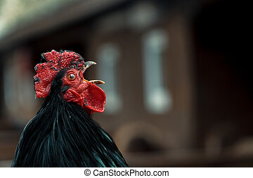 cock., den, tupp, kråkor