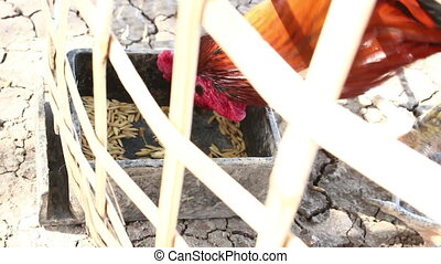 Cock Eating Food In Farm - Cock are Eating Food In Farm
