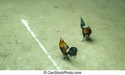 Cock fighting in the Philippines - Cock fighting in the ring...