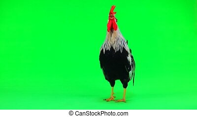 cock flaps its wings and sings on green screen