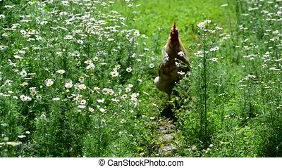 Cock goes in yard with flowers