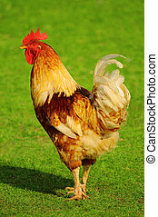 Cock on a green grass in village