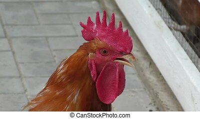 Cock on roaming on a hot summer day