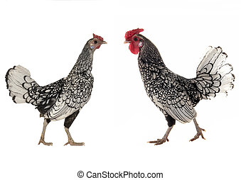 cock and the hen on a white background