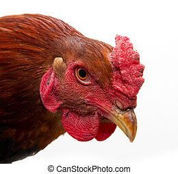 cock portrait on a white background