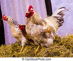 cock. Rooster portrait. Rooster in a farm