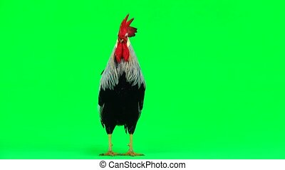 cock sings on the green screen