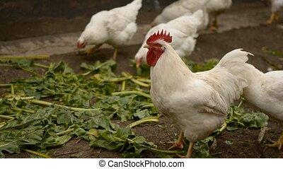 cock - birds on the farm