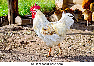 Cock white in paddock with brown chickens