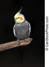 Grey cockatiel bird with yellow face and orange cheek patch