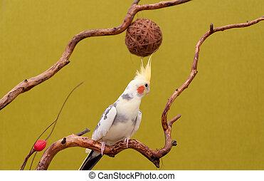 cockatiel, branch